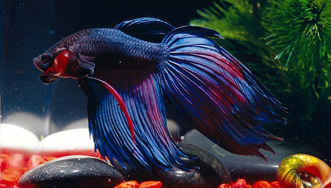 Doing Better for Bettas: College's Favorite Pet Needs More TLC by Melanie Overturf